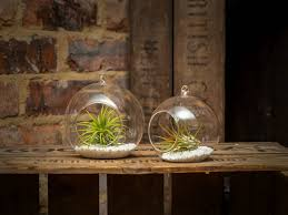 pair of hanging glass ball terrariums with airplants