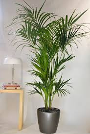 tall office plants. kentia palm from houston interior plants tall indoor office