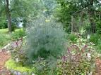 foeniculum vulgare dulce