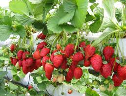 as one of the country s largest strawberry farms with more than 20 000 strawberry plants green view garden is also the place where you will find yourself
