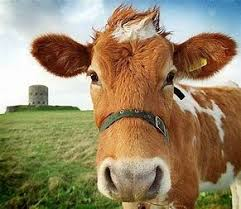 dairy cow face. Fine Cow Image Result For Dairy Cow Face Photos For M
