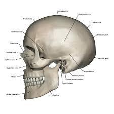 Skull Anatomy Diagram Wiring Diagrams