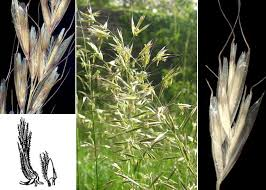 Avenula pubescens (Huds.) Dumort. subsp. pubescens - Portale ...