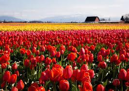 skagit valley tulip festival in seattle best season 2019