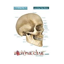 Skull Labeled Body Part Chart Removable Wall Graphic