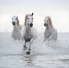 white horses running in water. Perfect Water White Horses On White Horses Running In Water U