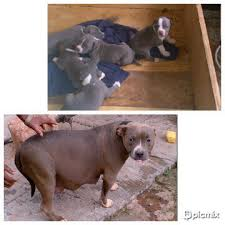 cute pitbull puppies for sale. Unique For Interested In Getting Cute Looking Puppies Itu0027s Just A Call Away Now  To Order 0806 670 5411 Throughout Cute Pitbull Puppies For Sale U