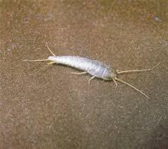 bathroom bugs. cpc silverfish1jpg bathroom bugs