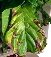 brown spots on my fiddle leaf fig tree fiddle leaf fig care leaves look like fiddle