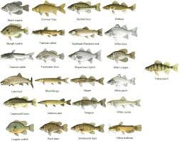 Bass Species Chart Amfish Decided To Pass Along A Fish Identification Chart