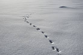 Image result for wolf paw print in snow
