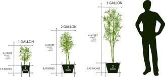 average american flower size bamboo plant sizes lewis bamboo