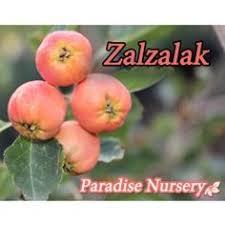 Persian Lemon Trees A Sweetly Scented Treat  LA At Home  Los Iranian Fruit Trees