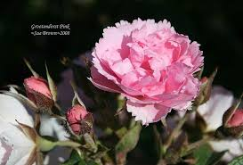 plantfiles pictures hybrid rugosa rose pink grootendorst 1 by calif sue