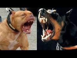 pitbull dog vs doberman.  Doberman Pitbull Vs Doberman Pinscher Intended Dog Vs Doberman C