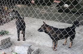 Khởi tố vụ án bé trai 7 tuổi bị đàn chó cắn tử vong ở Hưng Yên