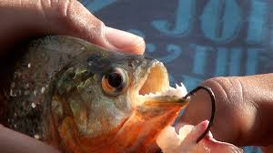 amazon river piranha. Simple Amazon Piranha Fishing In The Amazon Jungle With FactsFigures For River