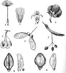 Распространение семян и плодов ветром анемохория Биология  Летающие семена и плоды 1 летучка у одуванчика 2 летучка у пушицы 3 летучка у осины 4 волоски на семенах хлопчатника 5 крылатка вяза