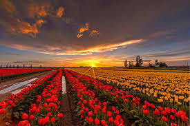 flower field sunset. 15 Incredibly Colorful Spring Flower Fields Around The World | Bored Panda Field Sunset K