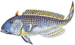blueline tilefish. Beautiful Tilefish Golden Tilefish And Blueline
