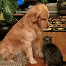 dog and cat friends gif. Plain And Golden Retriever Cat GIF With Dog And Friends Gif I