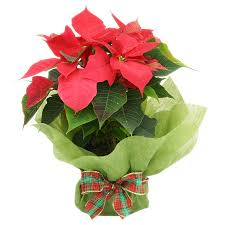 The 25 Best Christmas Gift Plants Ideas On PinterestChristmas Gift Plants