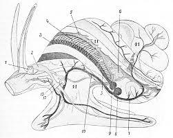 Circulatory system of gastropods - Wikipedia