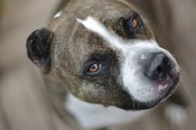 pitbull dog new widescreen wallpapers free dog images cute pets free 1600 1063 wallpaper hd