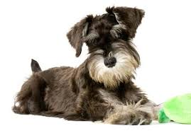 how to groom a schnauzer dog grooming