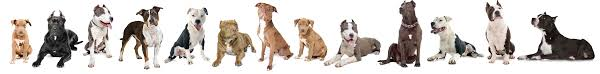 19 Bully Breed Comparison Chart Bully Breed Comparison