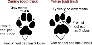 Image result for pictures of mountain lion paw tracks ?