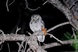nocturnal desert animals. Interesting Desert W_Screech_Owl2_webjpg To Nocturnal Desert Animals C