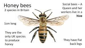 Bee Identification Chart Uk Polli Nation Identifying Pollinators