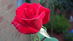 red rose wallpaper free hd wallpaper