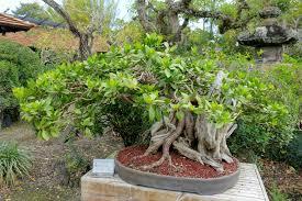 file conocarpus erectus morikami museum and japanese gardens palm beach county florida dsc03532 jpg