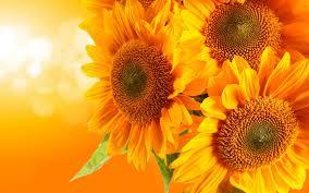 three sunflower wallpaper iphone wallpaper