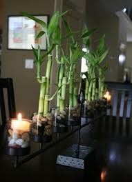 intriguing lucky bamboo houseplants and