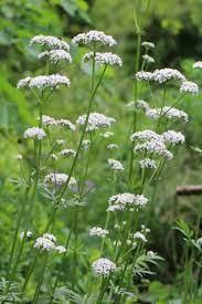 Valerian - Medicinal Herb Seed - Annapolis Seeds - Grown in Nova Scotia  Canada