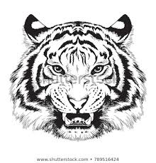 tiger face growling. Delighful Face Black And White Vector Sketch Of A Growling Tigeru0027s Face In Tiger Face Growling C
