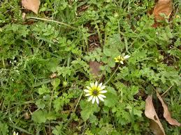 Turf Weed Identification Living Turf