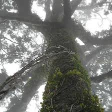 Image result for nz giant trees