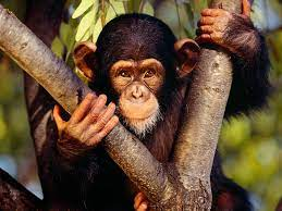 Estudio alerta sobre peligro de extinción del 60% de los primates | Page 4  | Los Tiempos