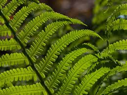 names of ferns. andrew mcrobb names of ferns
