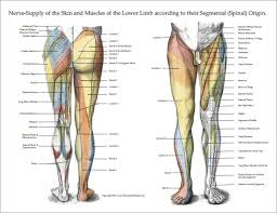 Leg Muscle Innervation Chart Nerve Innervation Of Upper And Lower Extremities Posters 3
