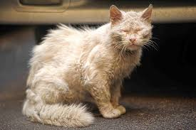 Skin Mite Dermatitis in Cats - Symptoms, Causes, Diagnosis ...