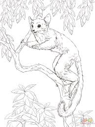 nocturnal animals coloring pages. Modren Coloring Senegal Bush Baby Throughout Nocturnal Animals Coloring Pages N