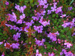 Plant ID Forum Shrub With Dark Leaves And Hot Pink Flowers Shrub With Pink Flowers