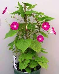 sweet potato plant flower. Perfect Potato Wild Sweet Potato Plant Ipomoea Purpurea L Roth Photo Victor  FernandezCIP Throughout Sweet Potato Plant Flower R