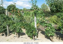 Freestanding Espaliered Fruit Trees Stepover At Standen West Growing Cordon Fruit Trees