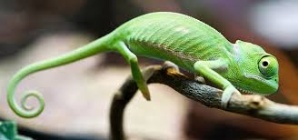 Plain Ideas Animals That Change Color Chameleon Changing Youtube